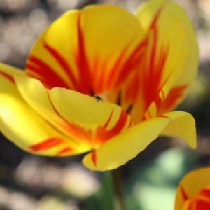 Tulpe mit kleinem Käfer