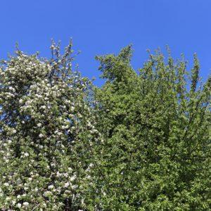 faszinierender Apfelbaum