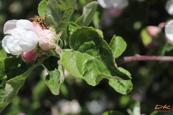 Biene an Apfelblüte