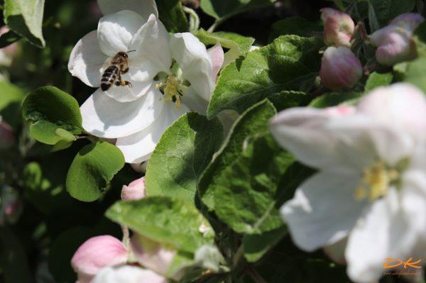 Landeanflug einer Biene