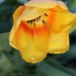 geöffnete Tulpe im Regen