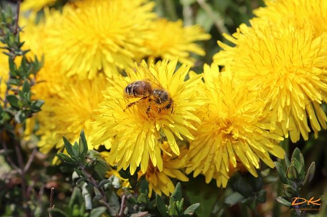 Biene am Löwenzahn