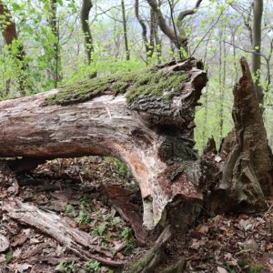 liegender Baumstamm